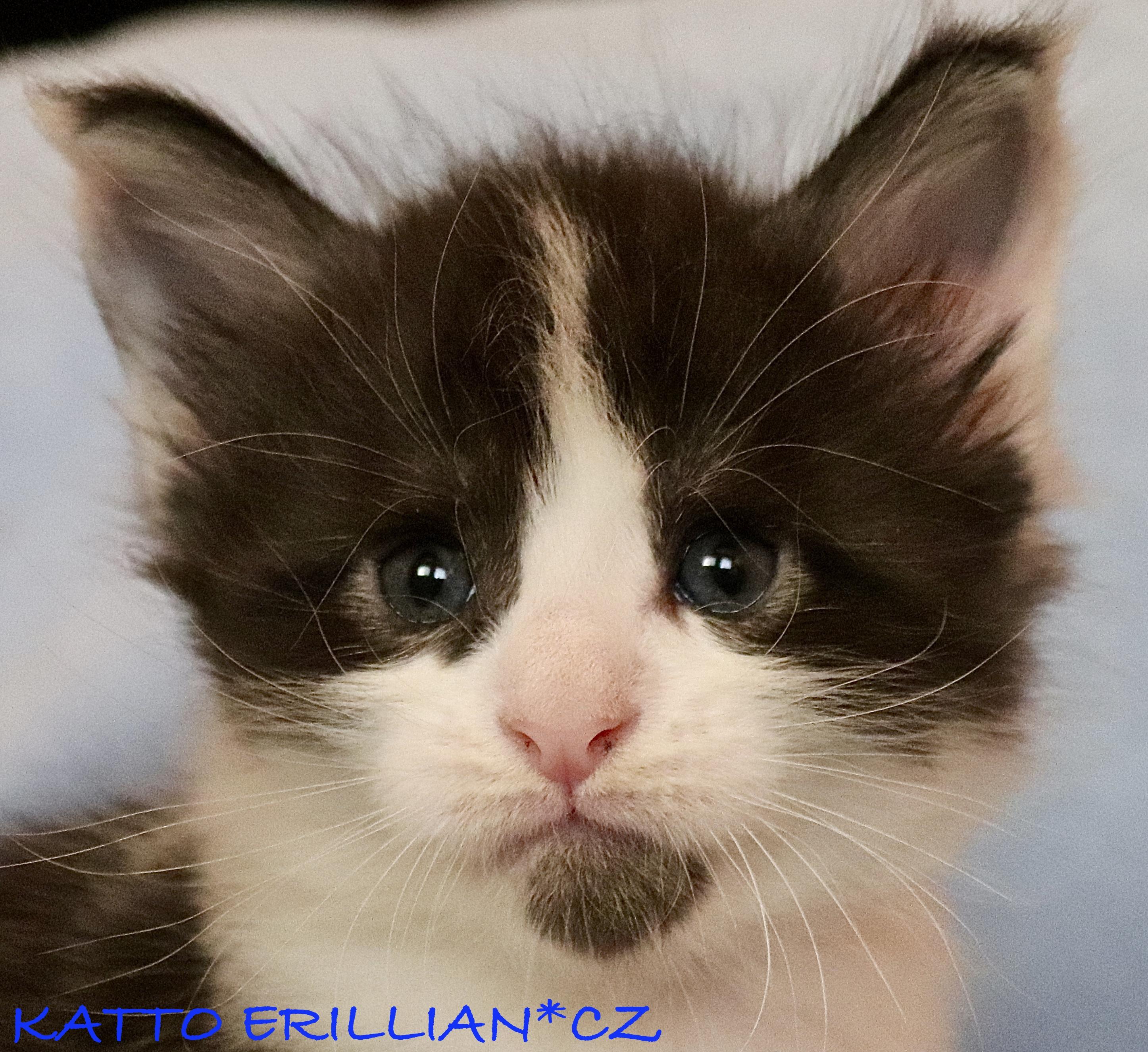fotka kočky VRH K: KATTO VON ERILLIAN*CZ