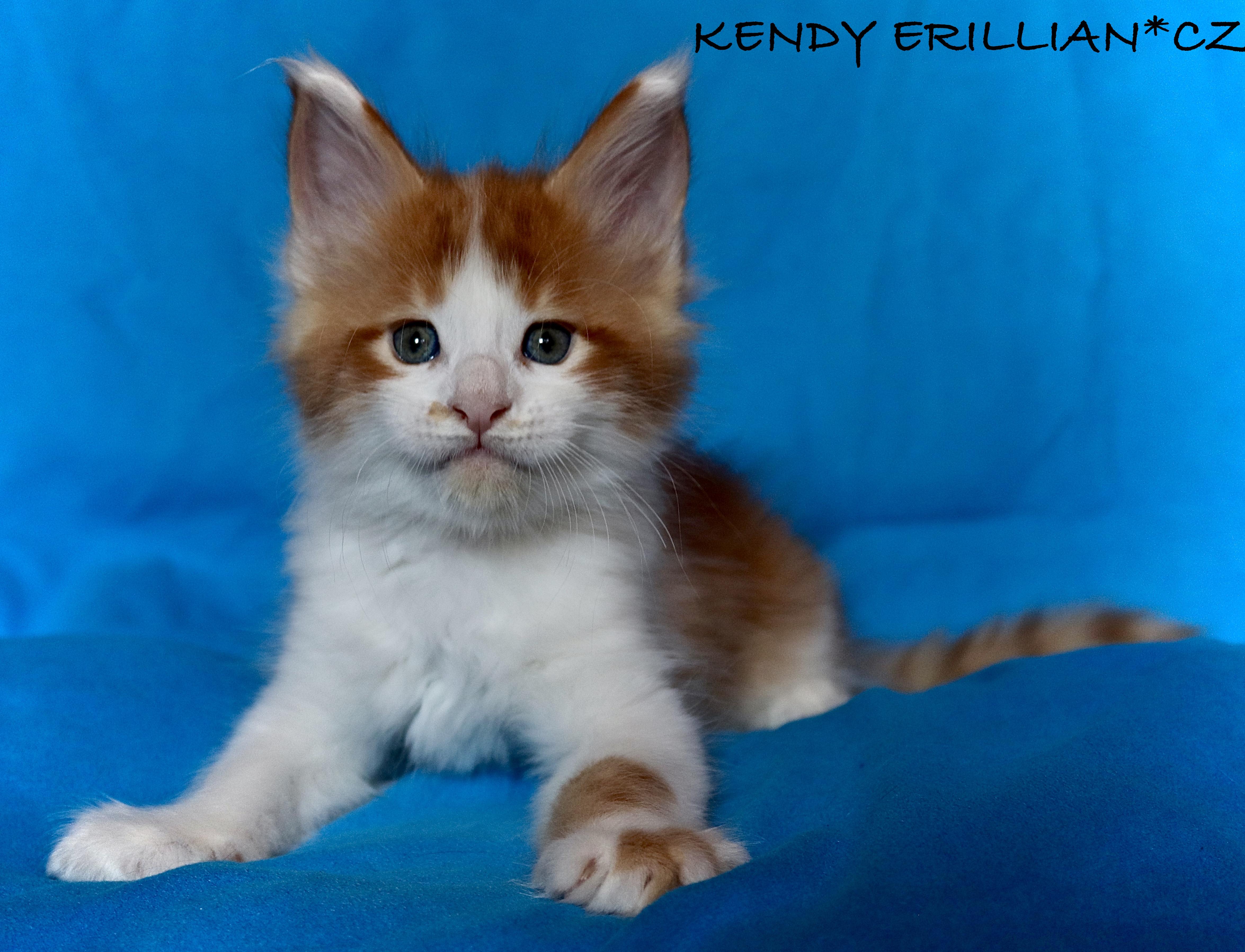fotka kočky VRH K: KENDY VON ERILLIAN*CZ