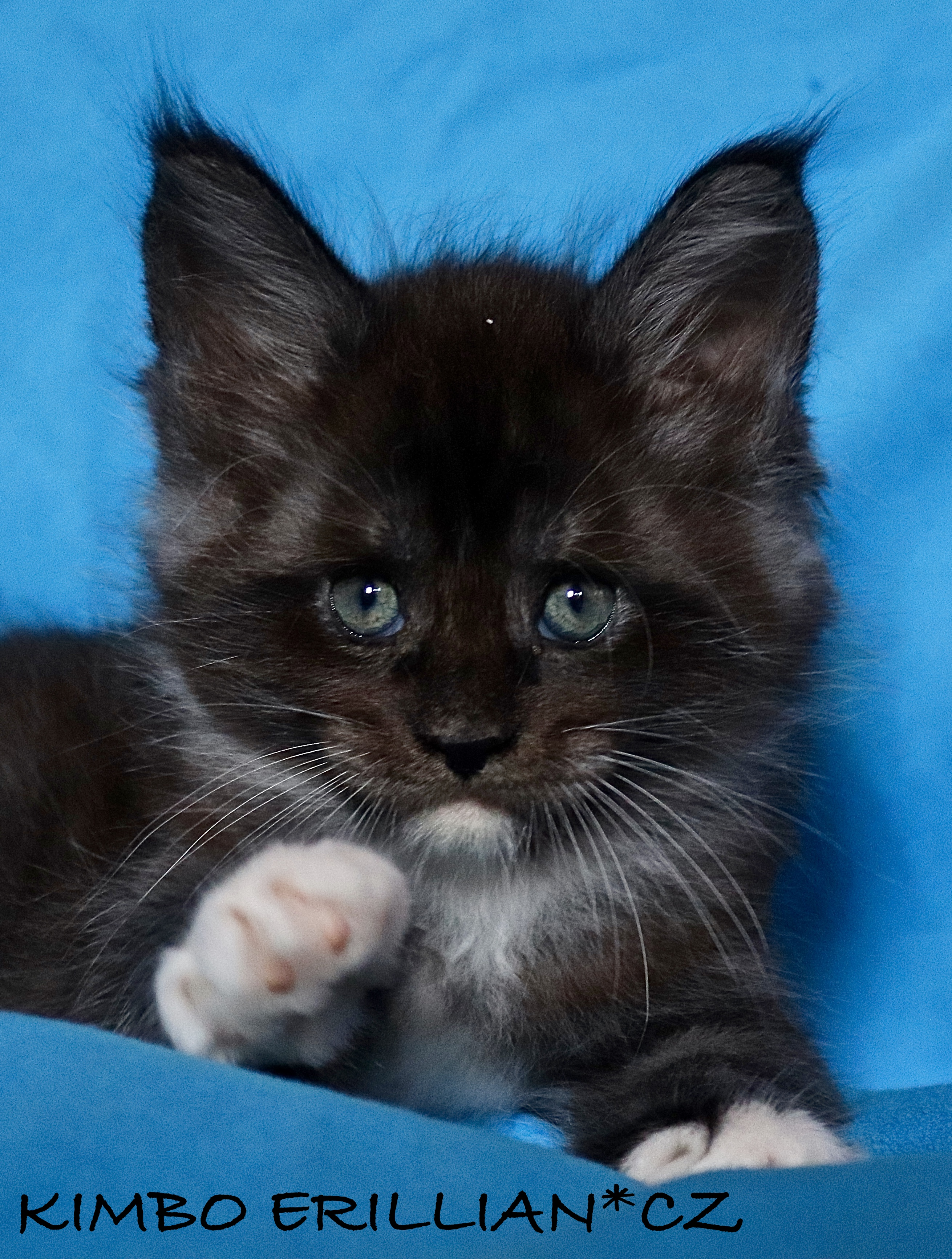 fotka kočky VRH K: KIMBO VON ERILLIAN*CZ