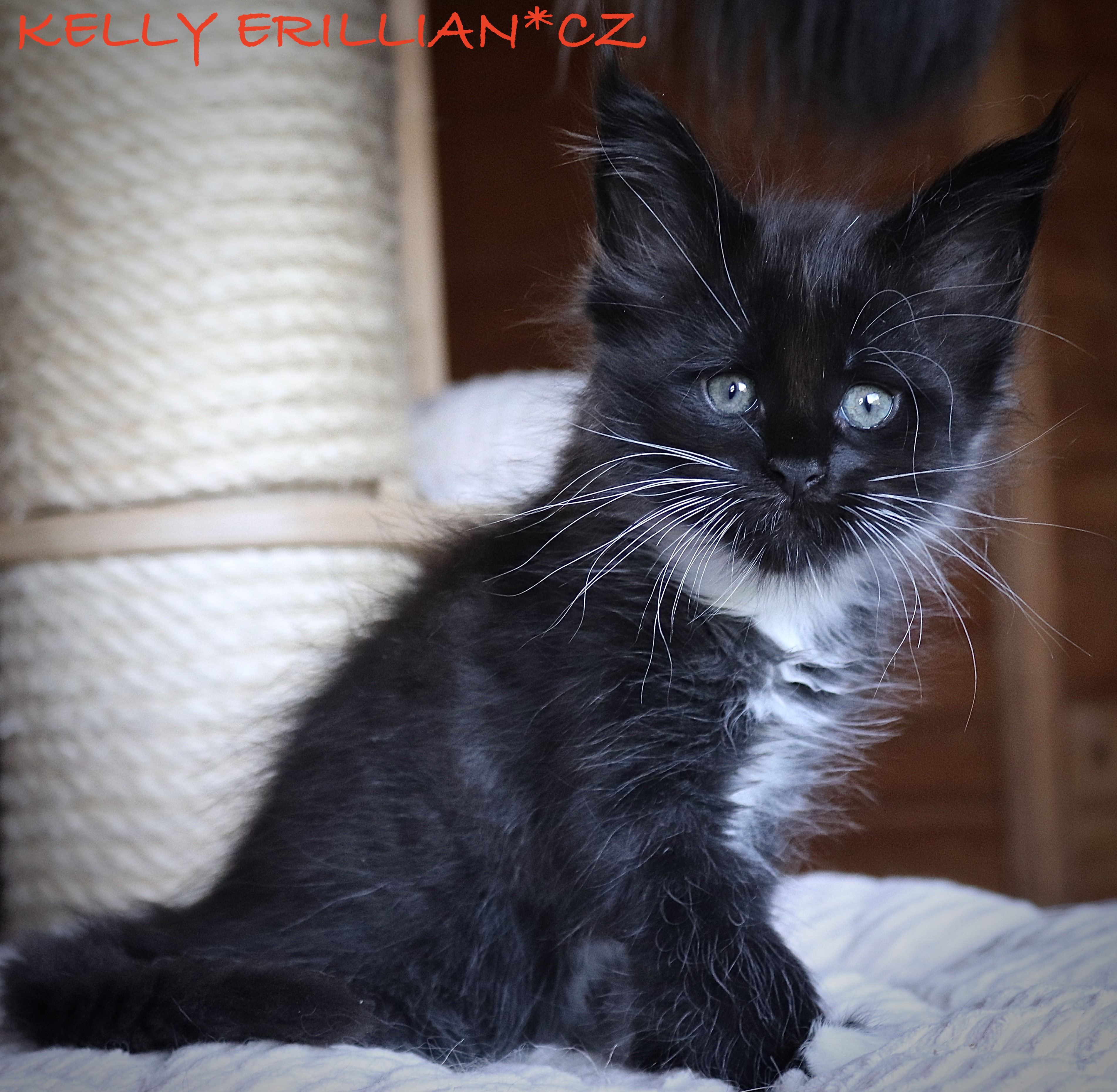 fotka kočky VRH K: KELLY VON ERILLIAN*CZ