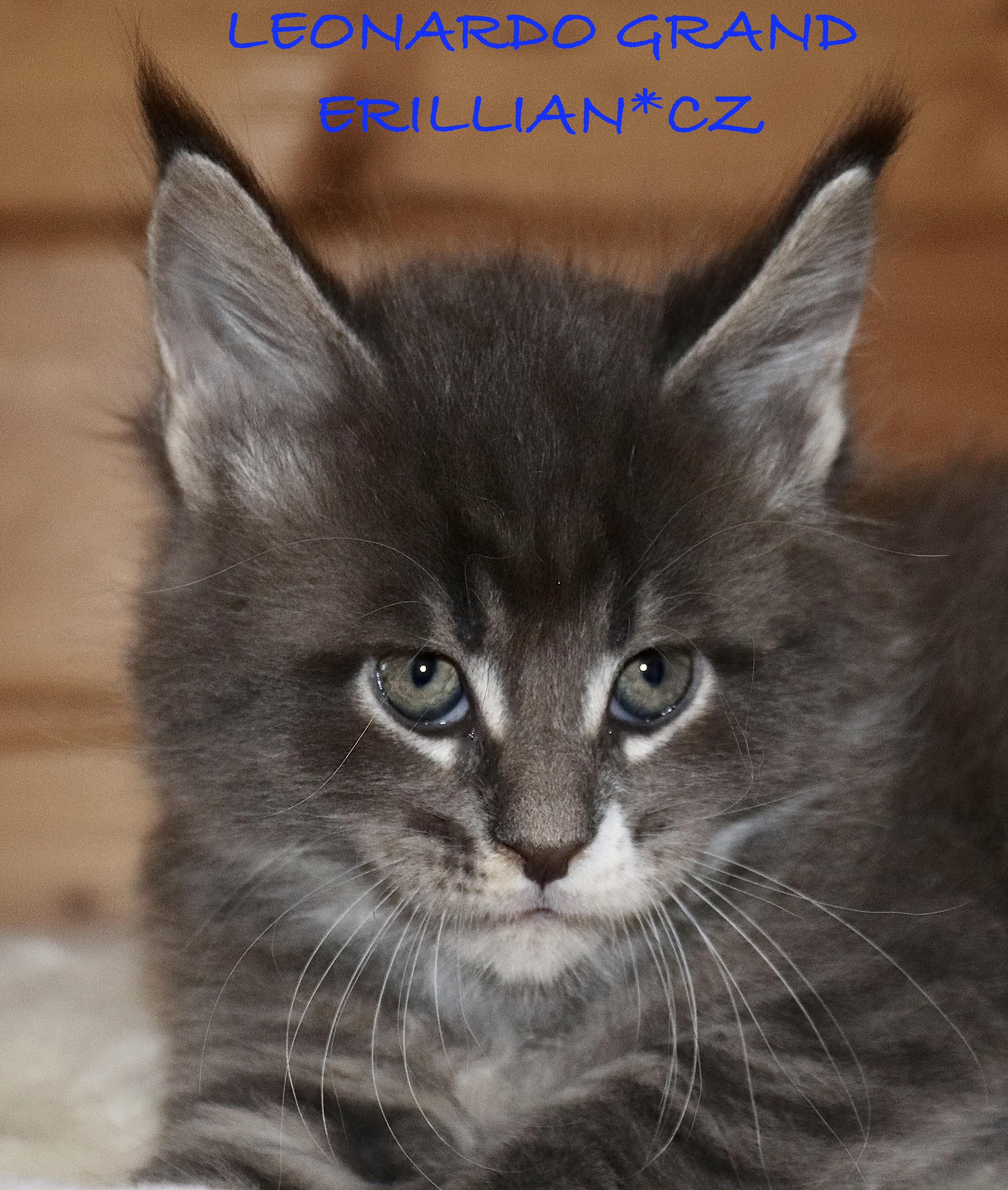 fotka kočky VRH L: LEONARDO GRAND VON ERILLIAN*CZ