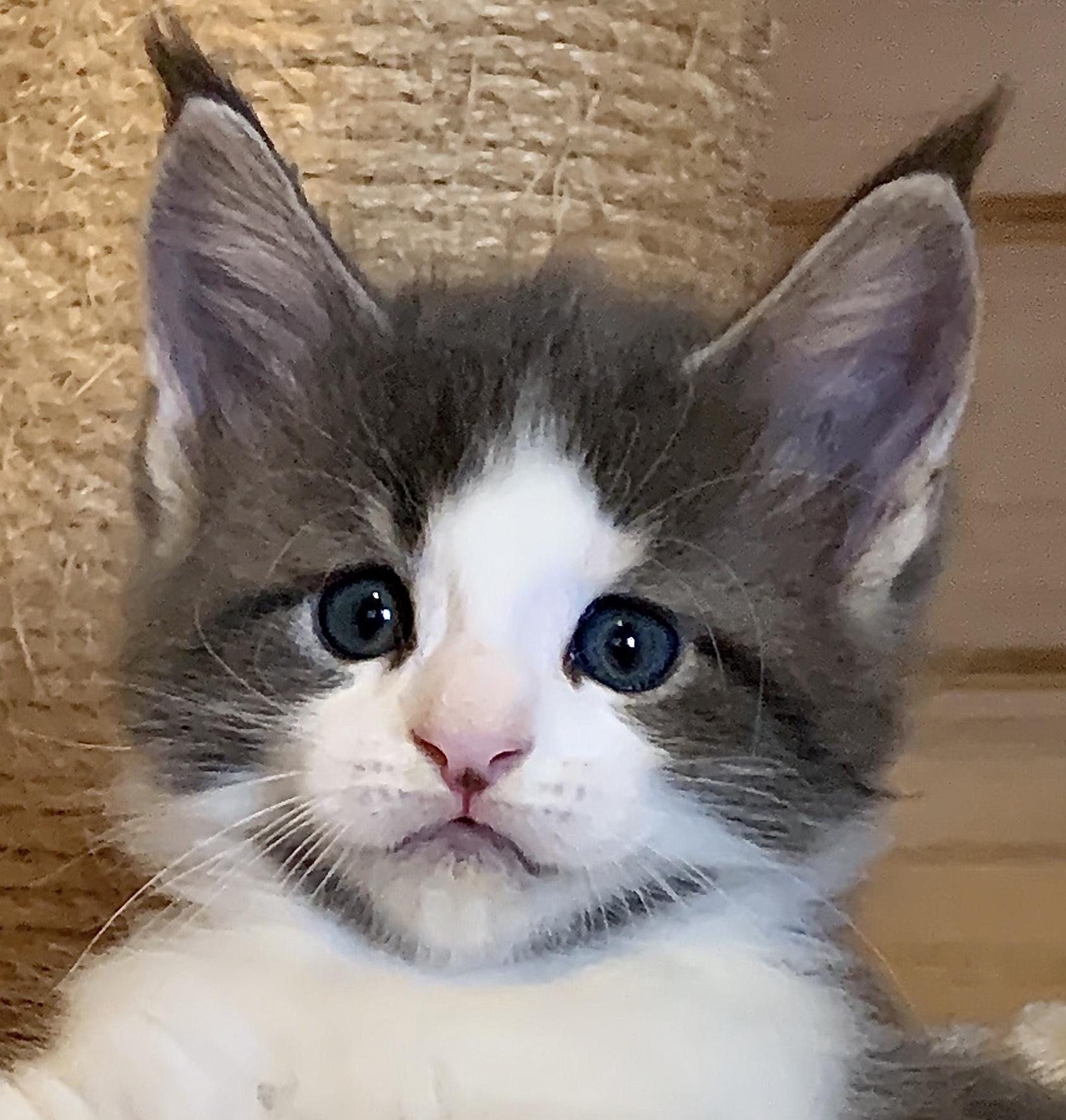 fotka kočky VRH L: LEON GRAND VON ERILLIAN*CZ