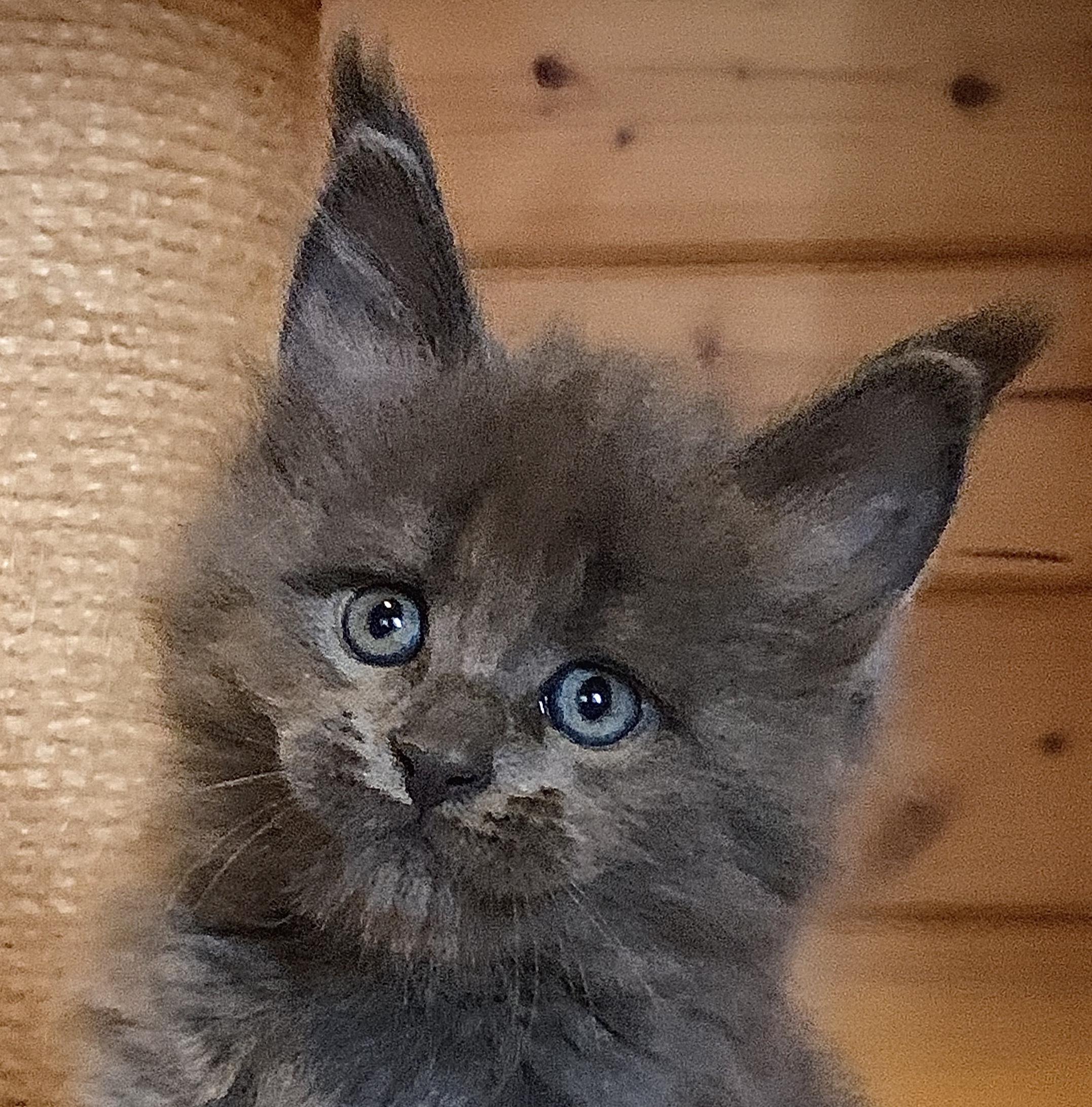 fotka kočky VRH L: LORD GRAND VON ERILLIAN*CZ