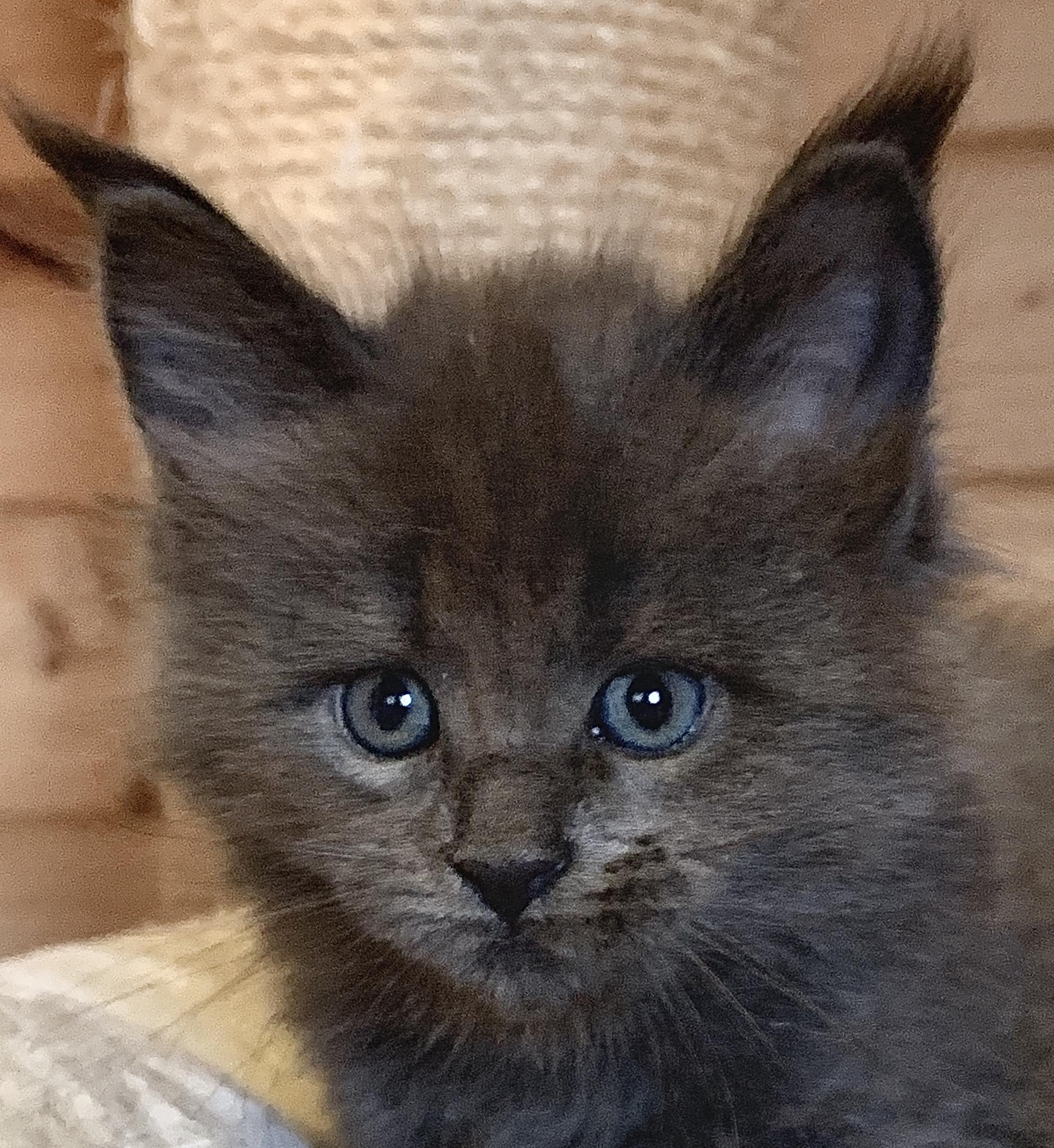 fotka kočky VRH L: LUCREZIA GRAND VON ERILLIAN*CZ