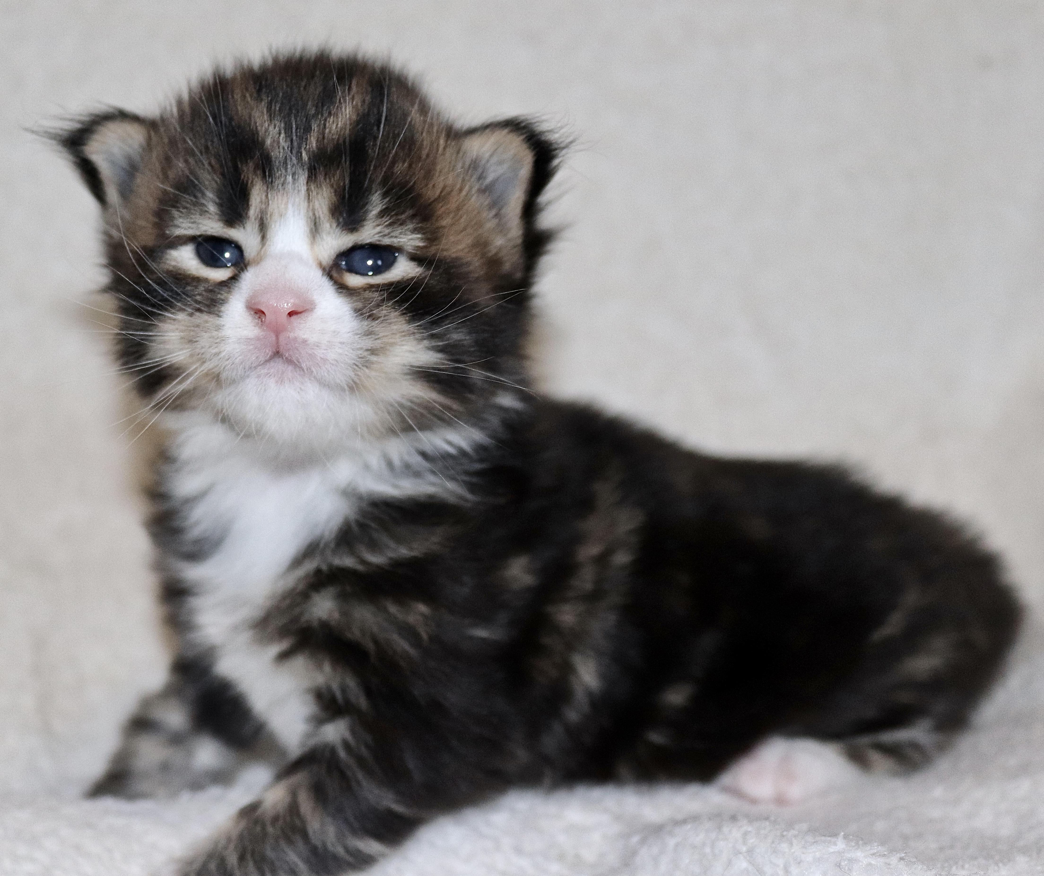 fotka kočky MADDI VON ERILLIAN,CZ