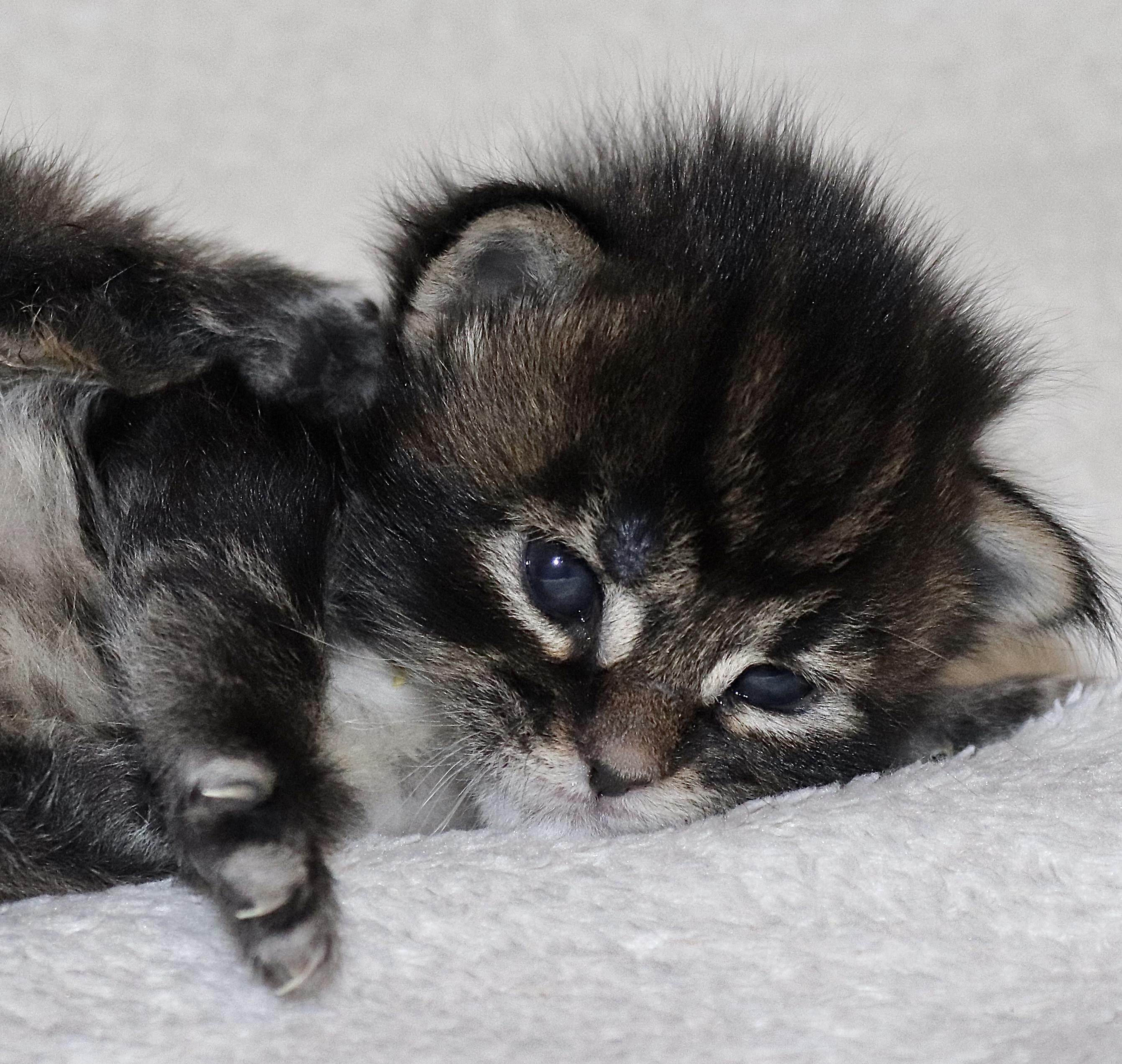 fotka kočky MAGGIE VON ERILLIAN,CZ
