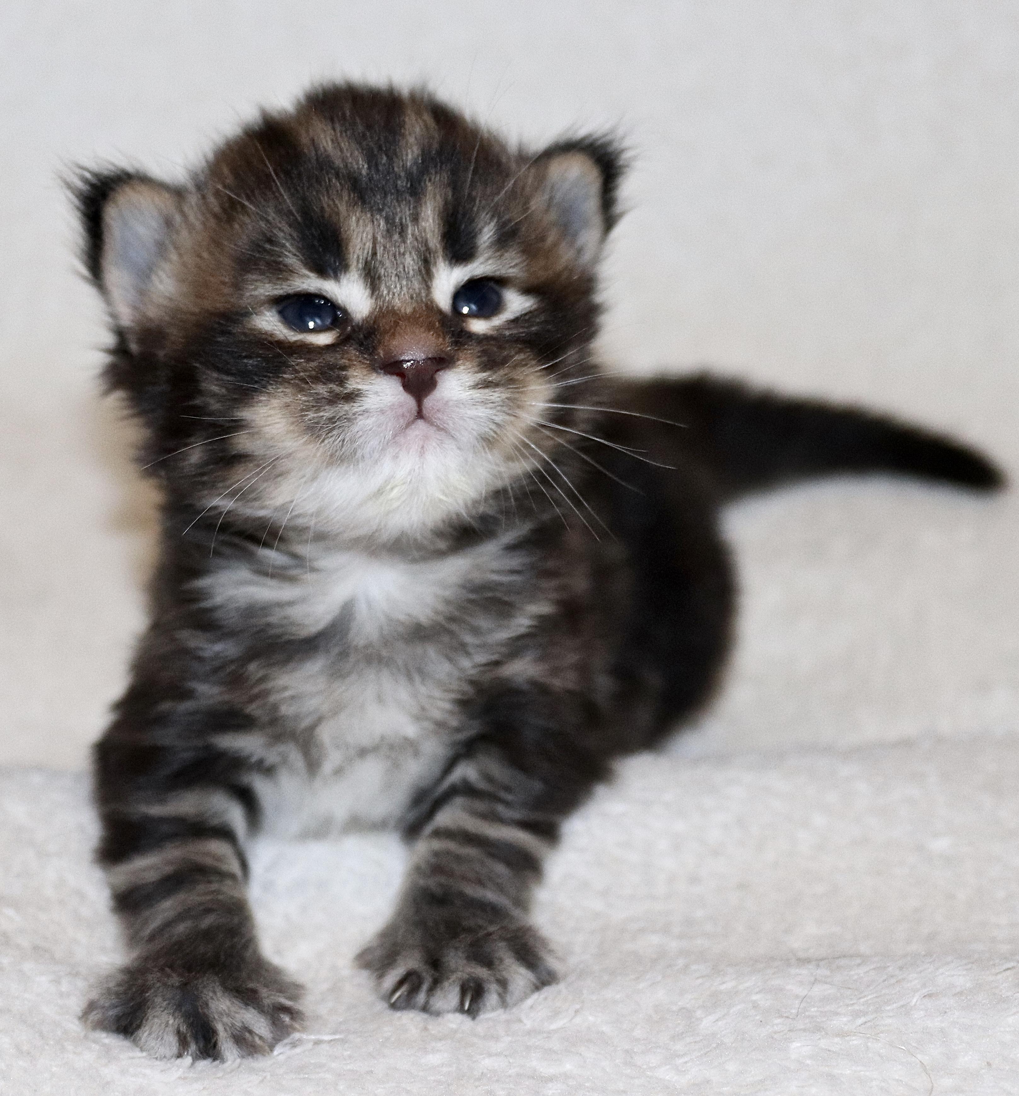 fotka kočky MERLIN VON ERILLIAN,CZ