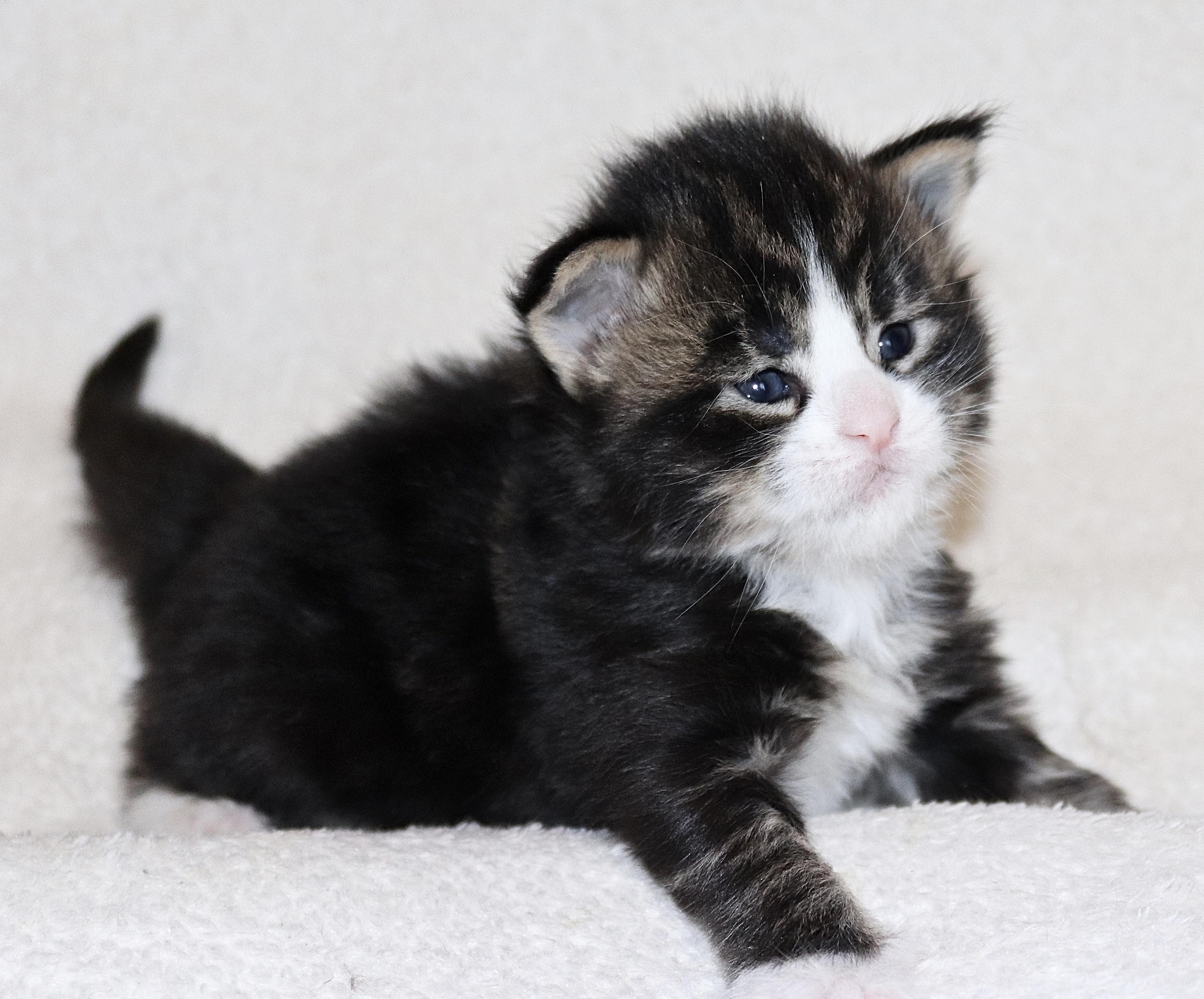 fotka kočky MARI VON ERILLIAN,CZ