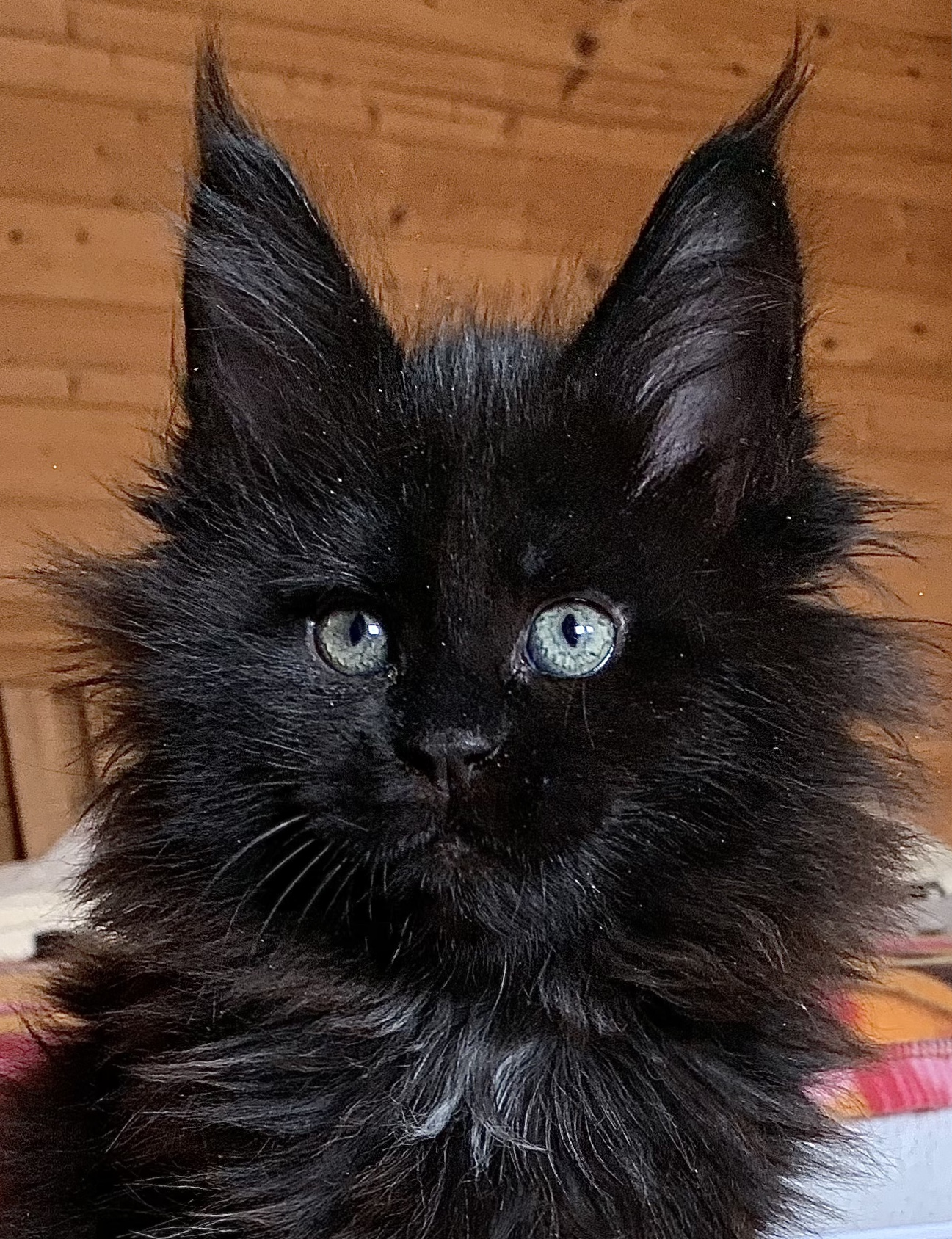 fotka kočky MAMBA VON ERILLIAN,CZ