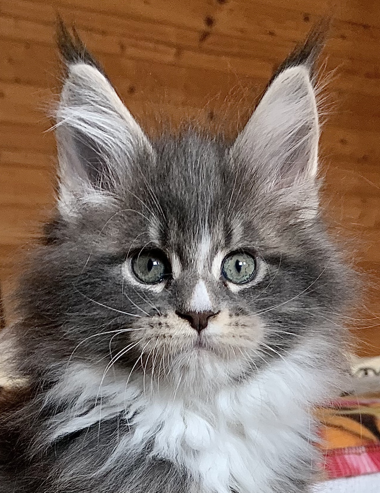 fotka kočky MEG VON ERILLIAN,CZ