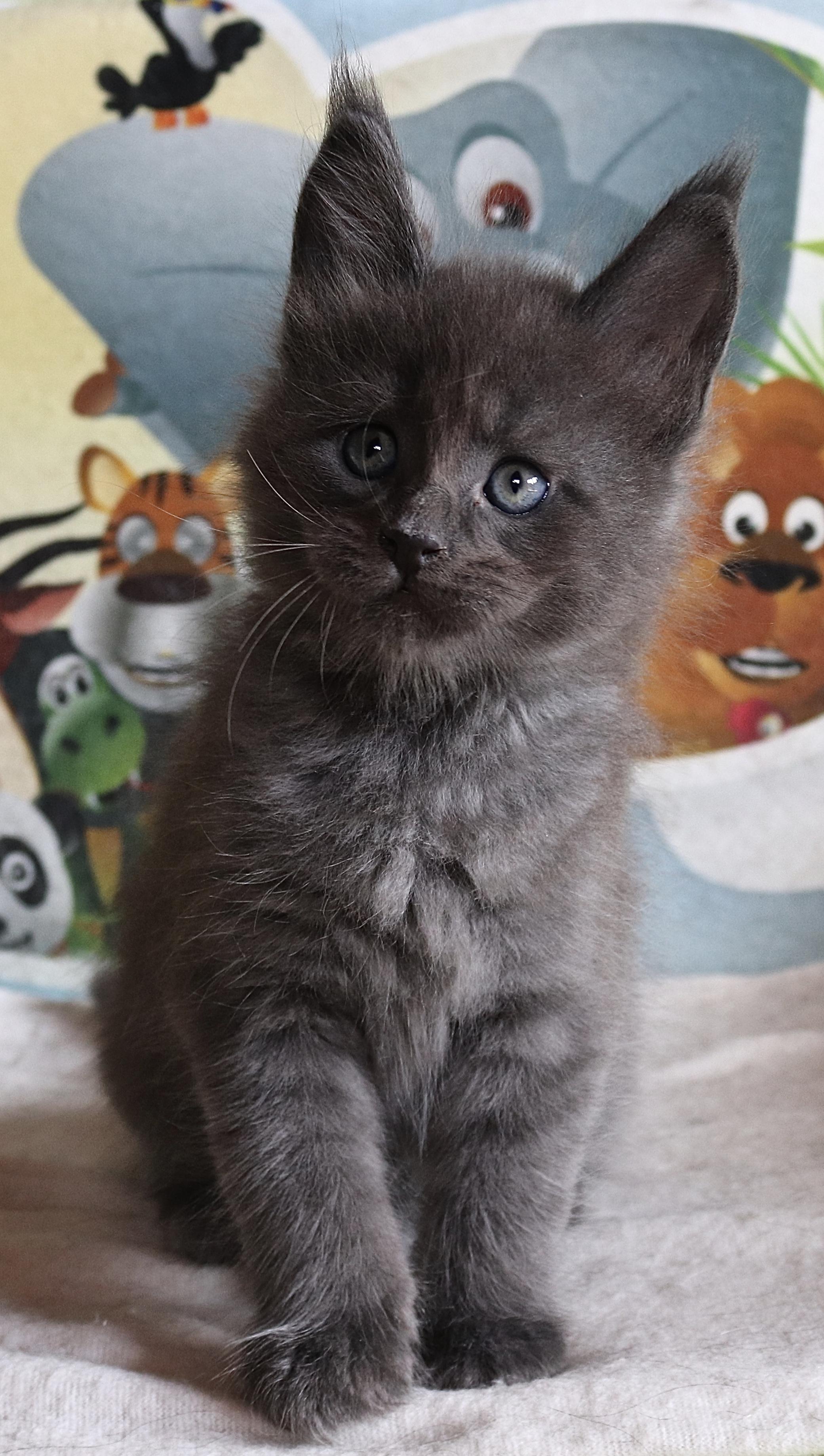 fotka kočky OWEN GRAND VON ERILLIAN,CZ, male