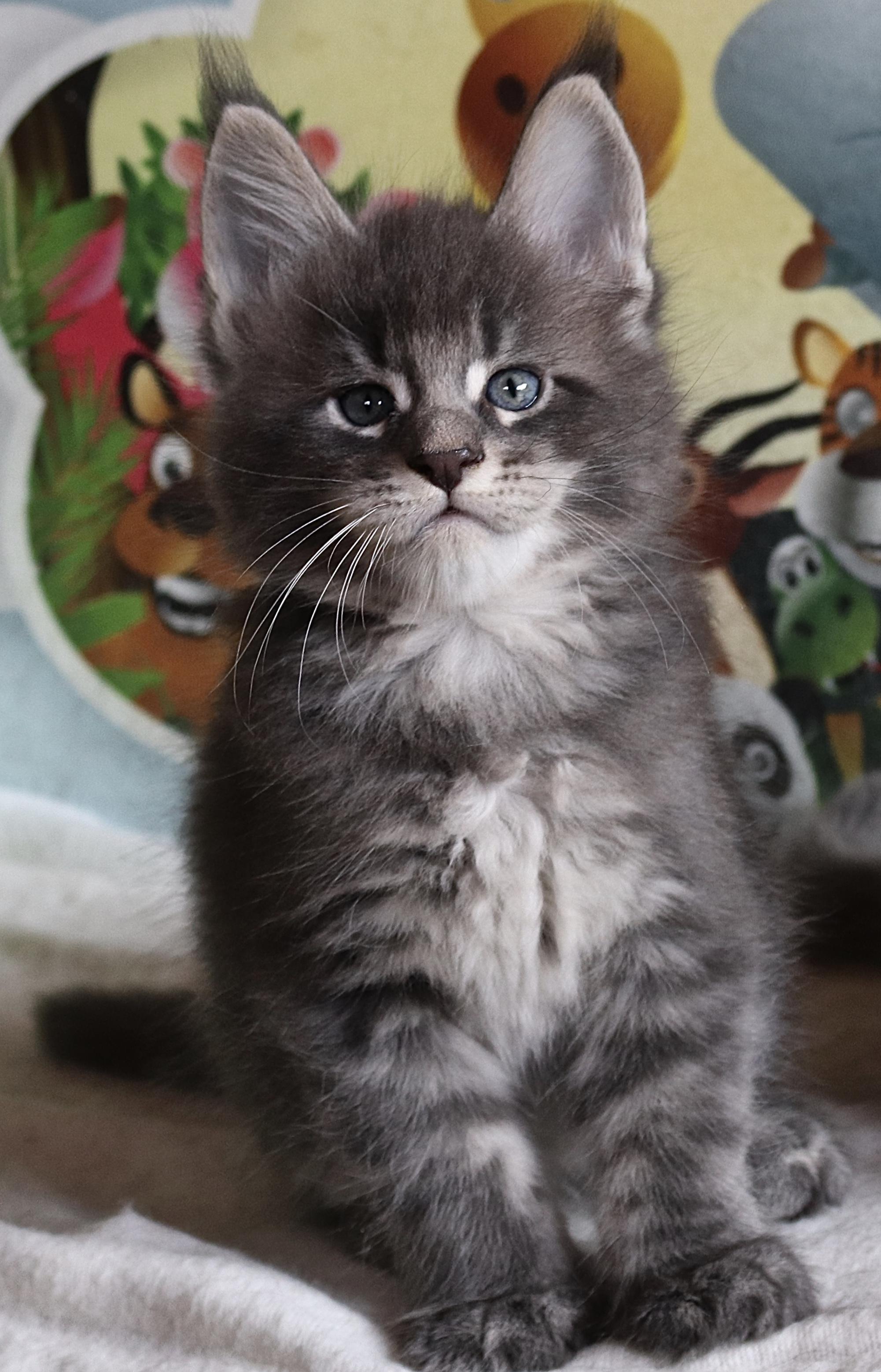 fotka kočky OLIVER GRAND VON ERILLIAN,CZ, male