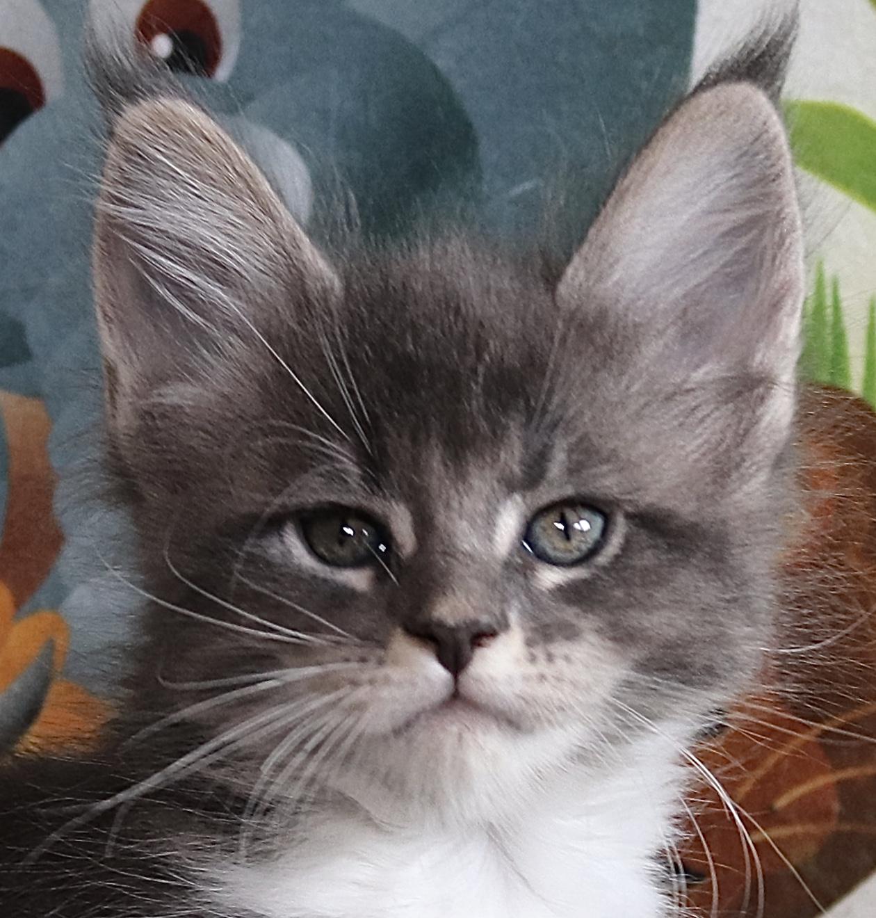 fotka kočky OGI GRAND VON ERILLIAN,CZ, female
