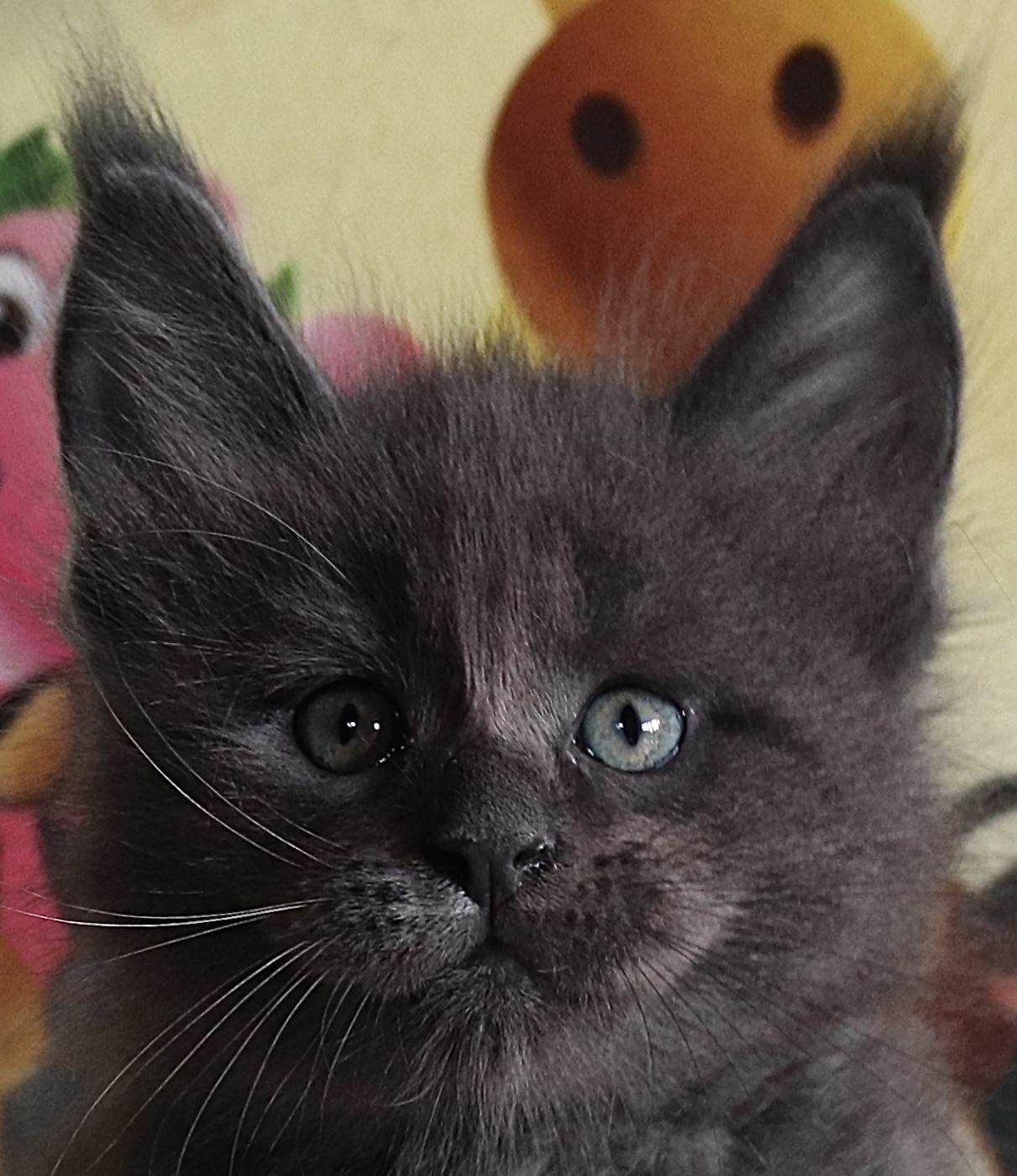 fotka kočky ORLANDO GRAND VON ERILLIAN,CZ, male