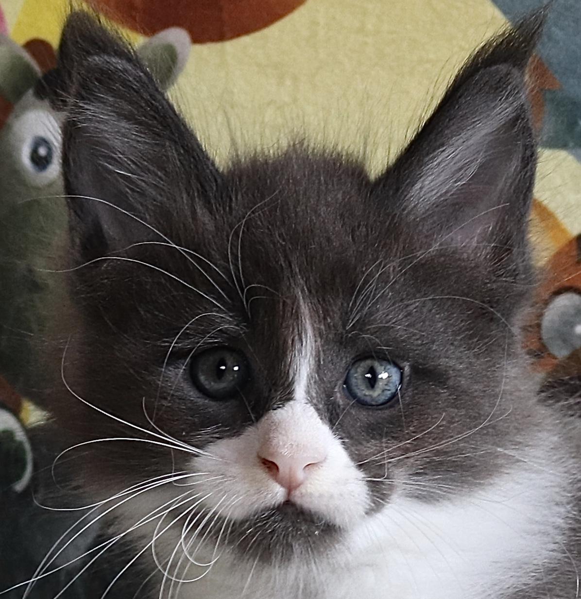 fotka kočky OREO GRAND VON ERILLIAN,CZ, male